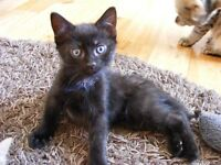 Gorgeous 8 Week Old Black Male Kitten Fully Weaned