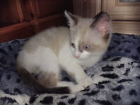 SNOWSHOE Kittens - Colour pointed / Blue point