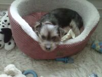 4 month old male yorkshire terrier with pedigree chart all injections done