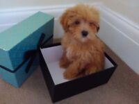 Tiny red girl maltipoo for sale!!
