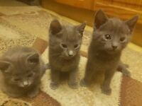 5 Mix Blue Kittens (Mother - Russian Blue, Father a British Blue)