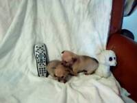 Tea cup chihuahuas for sale