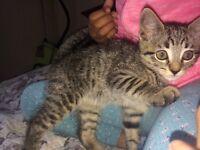 Beautiful tabby female kitten 11 weeks
