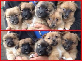Gorgeous Pomeyjacks puppies