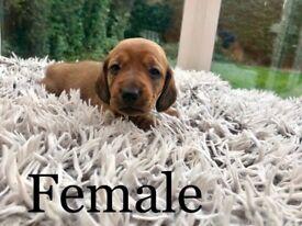 Beautiful miniature dachshund puppies.