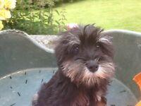 Black and silver miniature schnauzer pup