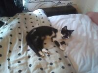 6 MONTH OLD FEMALE KITTEN FOR SALE BEEN SPAYED AND ALL JABS GIVEN
