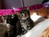 Amazing persian cross maincoon kittens forsale