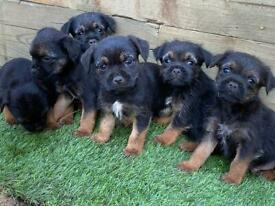 Beautiful pure border terrier pups