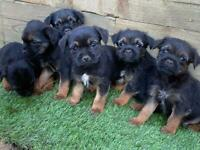 Beautiful pure border terrier pups
