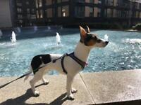 9month old jack Russel