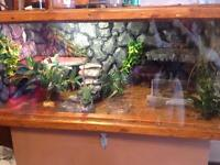 Green and brown basilisk lizards with home made cage