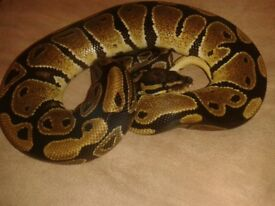 Female Royal ball python