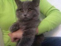 Blue British Shorthair kitten