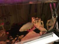 Tropical fish, 250 litre tank, heaters, filter and decorations.