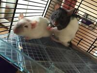 Two young male rats