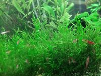 Red Cherry shrimps (10x) - beautiful tank cleaners for aquariums - £1 each
