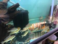 cichlids for sale read advent