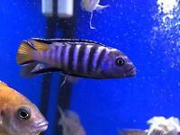Cichlid Mbuna fish