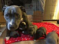 Blue Staffordshire bull terrier pups valglo bloodlines