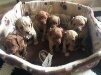 7 Adorable Cavapoo puppies