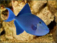 redtoothed trigger (Marine Fish)