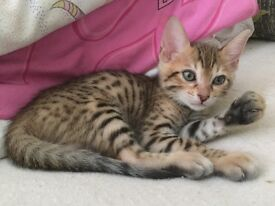 Gorgeous Bengal Kittens for sale (Private seller)