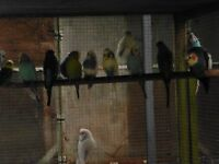 Various Budgies for sale