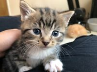 BABY TABBY FOR SALE