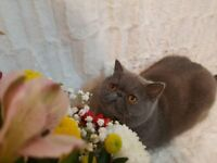 Exotic Shorthair Girl, Ursa, 3y old, Neutered, Pedigree, PKD free lines