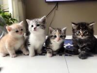 British Short hair mixer kittens look for new forever home