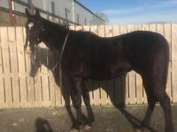 Gelding 16.1hh 8 years old for sale