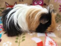 ** TWO LOVELY MALE GUINEA PIGS **