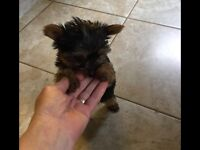 Yorkshire Terrier Tiny Girl