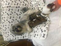 Pups Pedigree KC registered Lhasa Apso puppies