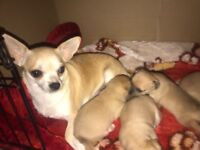 3 boy full breed chihuahua puppy's