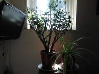 Money tree spider plant