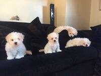 Maltichon Puppies - Ready Now, wormed, vaccinated & micro chipped
