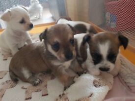 Chihuahua - Yorkshire terrier puppies