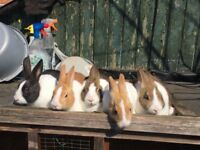 11 weeks old pure bred dutch rabbits for sale £35.00 each