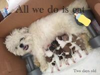 LITTER OF 6 MALSHI puppies (MALTESE x SHITZU)- Born 16/02/17 -- READY 16/04/17