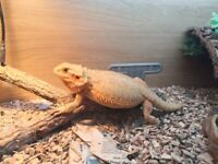 Bearded dragon | Reptiles For Sale - Gumtree