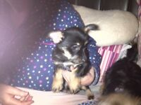 1 Chorkie puppy out of a litter of 5 Mum & Dad can be seen