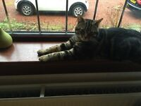Missing uneutered male tabby cat. Chipped no collar Scottish Borders