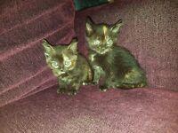 Mixed Persian Kittens/ Tortoise Shell