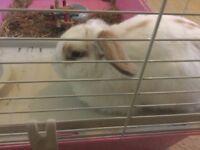 White 5 month Mini lop!