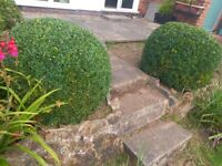 Two Large Box Hedge Plants