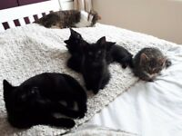 Kittens for sale. Blackpool, Wyre & Fylde area