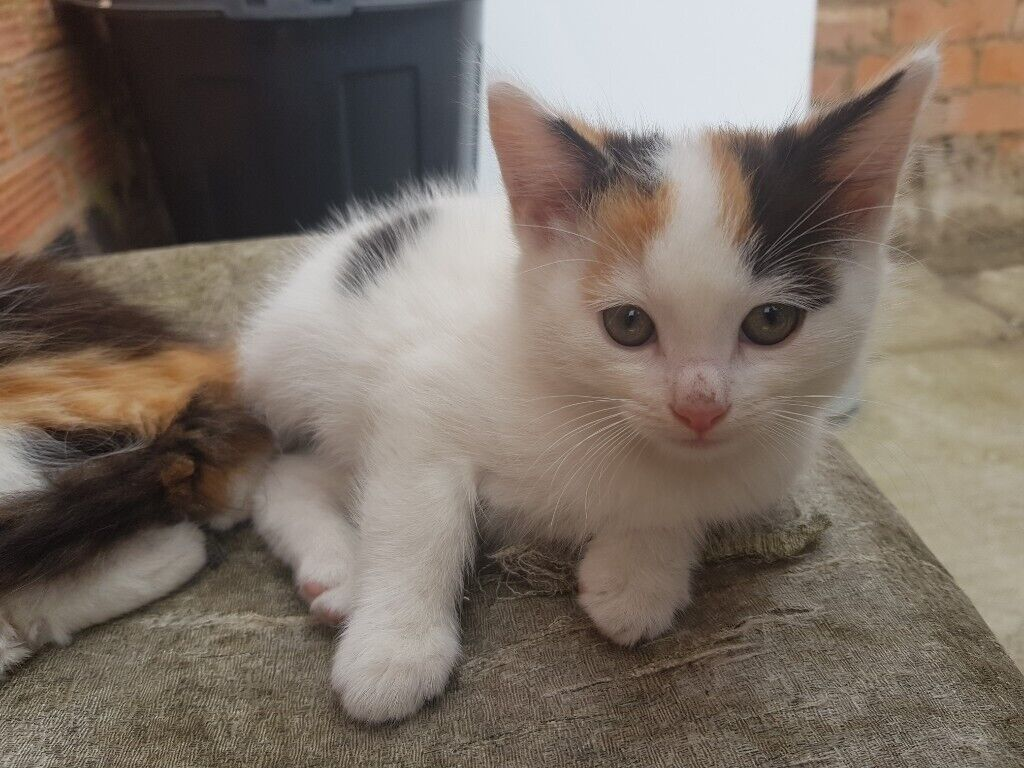 Fluffy Kitten For Sale In Sparkhill West Midlands Gumtree
