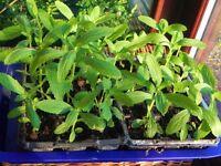 Verbena plants - 12 in a tray ............................................. Ipswich or Framlingham